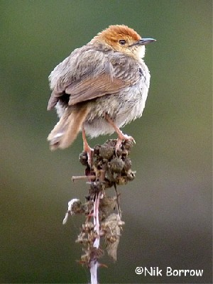 Churring Cisticola
