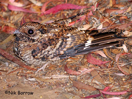 ssp guttifer sometimes split as Usambara Nightjar