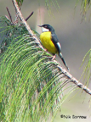 White-winged Apalis