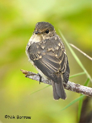 African Dusky Flycatcher ssp obscura