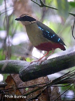 African Pitta race pulih or presumed hybrid with Green-breasted Pitta