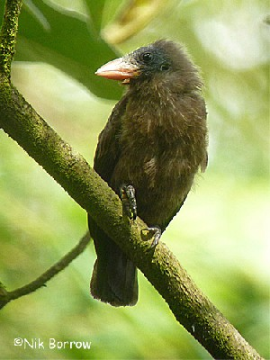 Naked-faced Barbet nominate race
