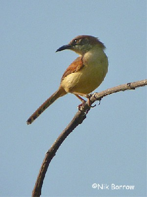 Red-winged Warbler