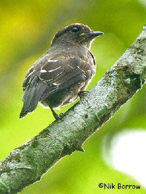 Sooty Flycatcher nominate race