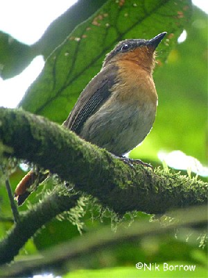 White-bellied Robin-Chat nominate race