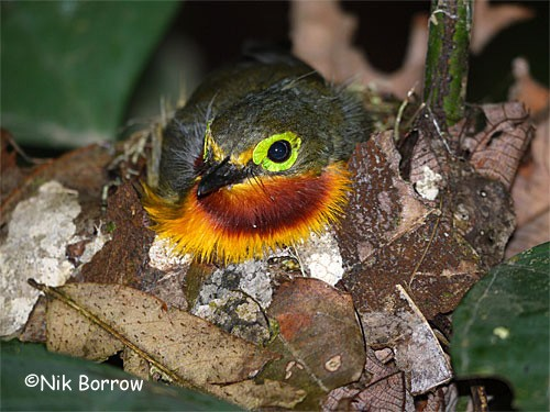 Yellow-bellied Wattle-eye ssp graueri