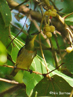Green Sunbird nominate race