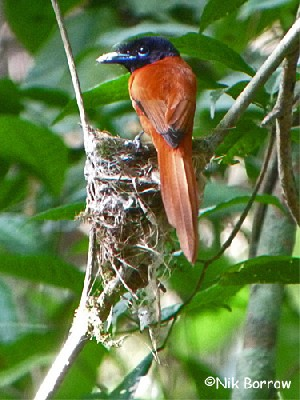 Red-bellied Paradise-Flycatcher ssp nigriceps