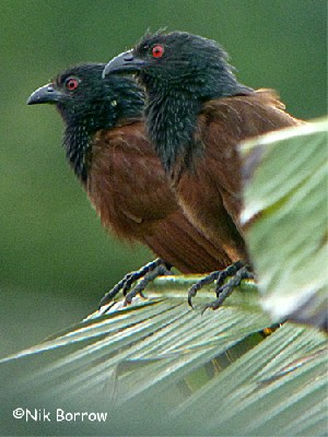 Senegal Coucal 'epomidis' form