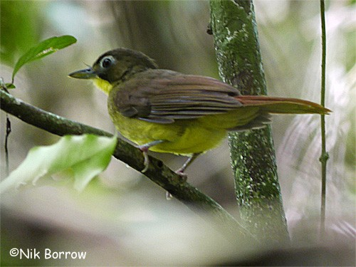 Red-tailed Bristlebill nominate race