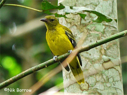 Western Black-headed Oriole nominate race