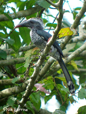 Black Dwarf Hornbill nominate race