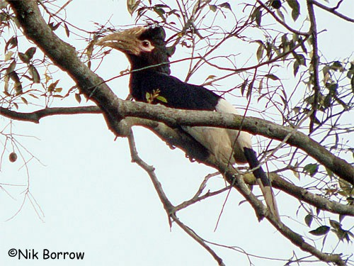 Brown-cheeked Hornbill