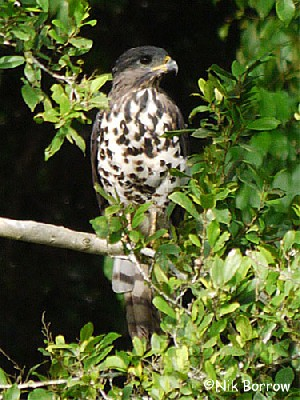 Congo Serpent Eagle nominate race