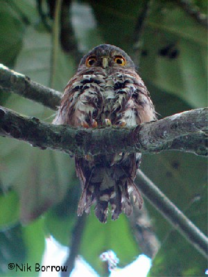 Red-chested Owlet nominate race