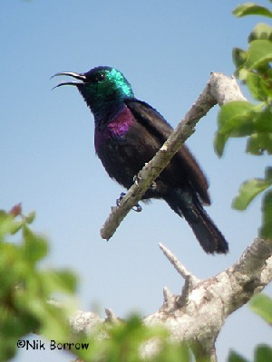 Violet-breasted Sunbird