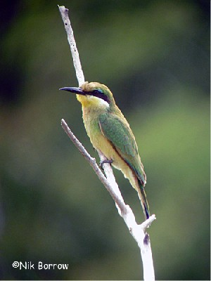 juvenile Blue-breasted Bee-eater