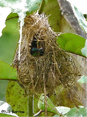 female Collared Sunbird on nest