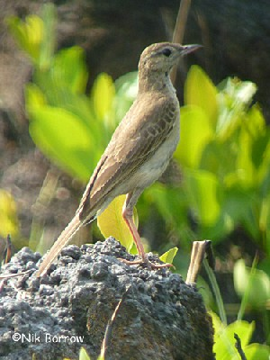 Buffy Pipit ssp. chobiensis