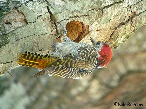 Golden-tailed Woodpecker ssp. suahelica