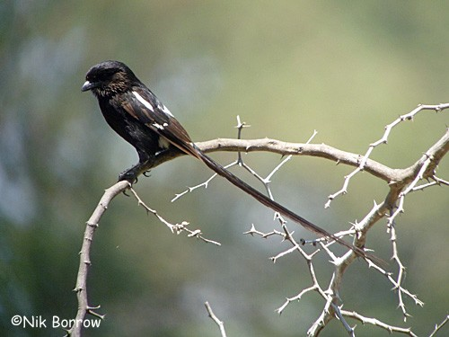 Magpie Shrike nominate race