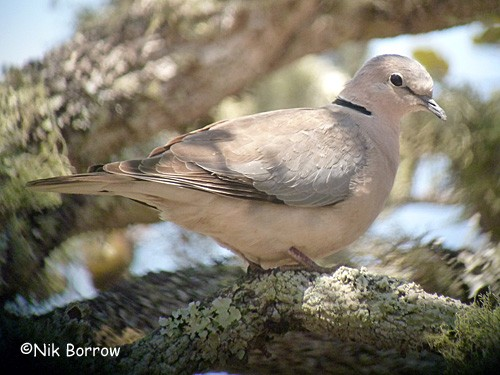 Ring-necked Dove ssp. tropica