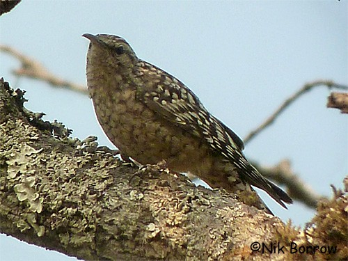African Spotted Creeper ssp. salvadori