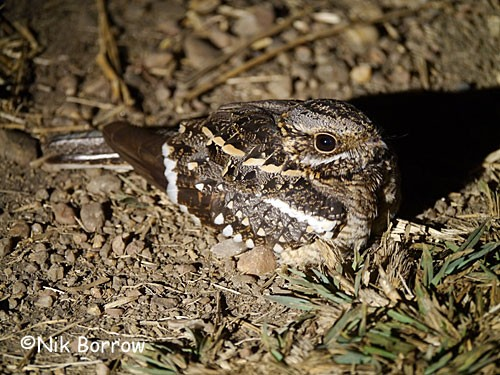 Square-tailed Nightjar ssp wellwitschii