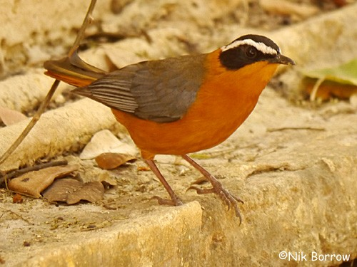 aka Heuglin's Robin Chat nominate race
