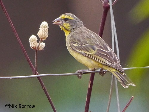 Yellow-fronted Canary nominate race