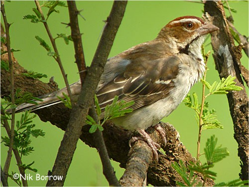 Chestnut-crowned Sparrow Weaver