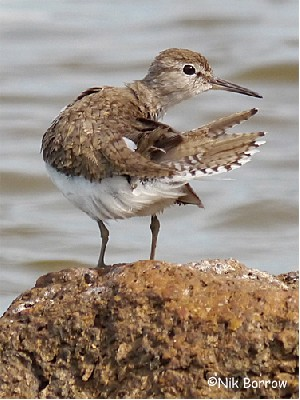 Common Sandpiper