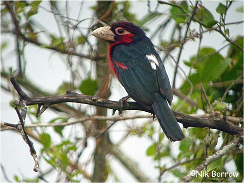 Double-toothed Barbet ssp. aequatorialis