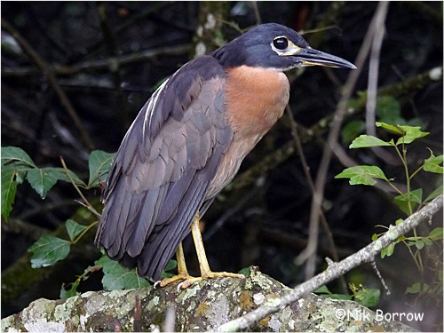 White-backed Night Heron