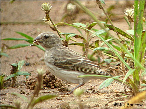White-rumped Seedeater nominate race