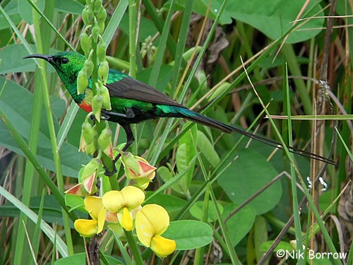 Beautiful Sunbird nominate race