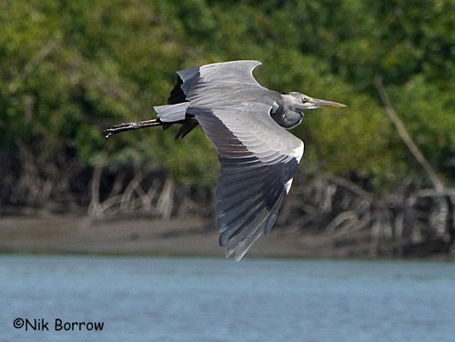 Grey Heron nominate race