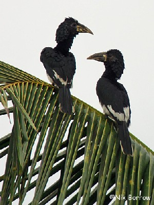 Piping Hornbill nominate race