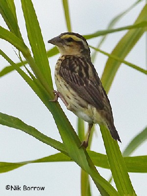 Yellow-crowned Bishop nominate race