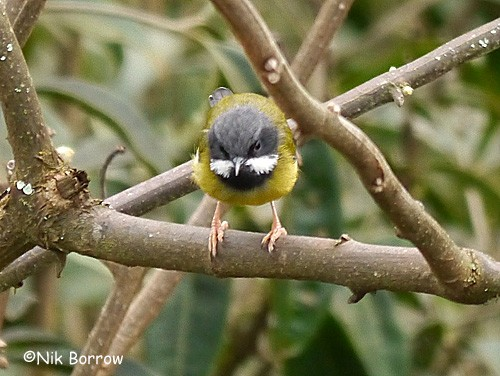 Black-throated Apalis ssp jacksoni