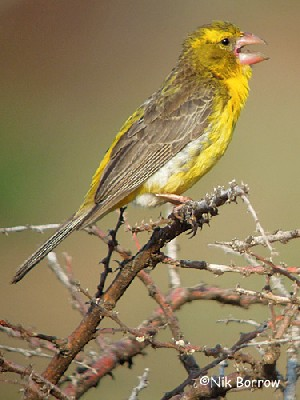 Northern Grosbeak Canary