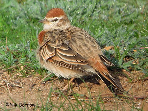 Red-capped Lark ssp williamsi