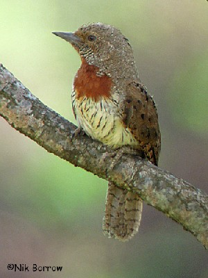 Red-throated Wryneck nominate race