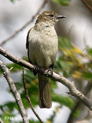 Slender-billed Greenbul ssp. percivali