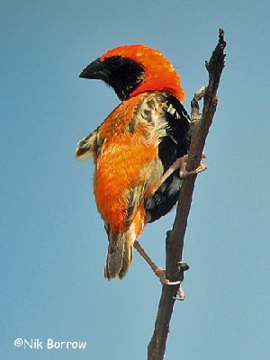 Zanzibar Red Bishop