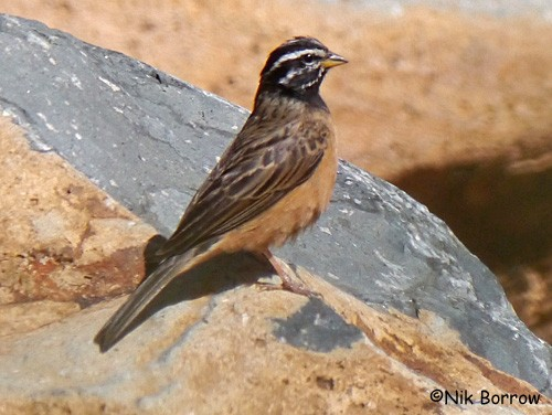 Cinnamon-breasted Bunting nominate race