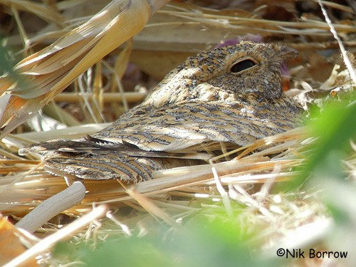 Golden Nightjar