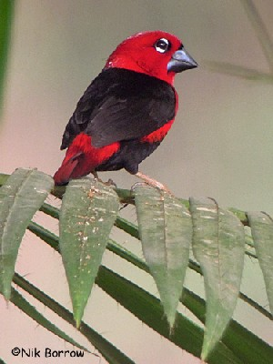 Black-bellied Seedcracker