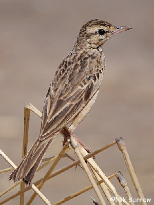 African Pipit - undescribed population - ssp unknown.