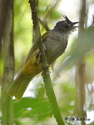 Eastern Bearded Greenbul